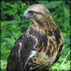 DSCN6063 (DianeBerky19) Tags: nikon coolpixp1000 bird birdofprey raptor hawk roughleggedhawk captive
