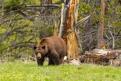 Big red (ChicagoBob46) Tags: bear boar yellowstonenationalpark yellowstone nature wildlife coth5 ngc naturethroughthelens npc cinnamonblackbear