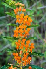 Asclepias tuberosa (Butterfly Milkweed) (jimf_29605) Tags: asclepiastuberosa butterflymilkweed powerlineprairie murraycounty georgia sony a7rii 90mm wildflowers