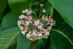 Asclepias syriaca (Common Milkweed) (jimf_29605) Tags: asclepiassyriaca commonmilkweed cohuttawilderness chattahoocheenationalforest murraycounty georgia sony a7rii 90mm wildflowers