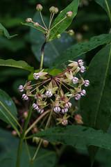 Asclepias exaltata (Poke Milkweed) x Asclepias syriaca (Common Milkweed) - hybrid (jimf_29605) Tags: asclepiasexaltata pokemilkweed asclepiassyriaca commonmilkweed hybrid cohuttawilderness chattahoocheenationalforest murraycounty georgia sony a7rii 90mm wildflowers