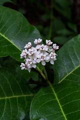 Asclepias variegata (Red-ring Milkweed) (jimf_29605) Tags: asclepiasvariegata redringmilkweed cohuttawilderness chattahoocheenationalforest murraycounty georgia sony a7rii 90mm wildflowers