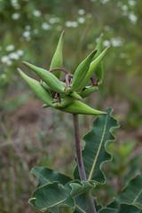 Asclepias amplexicaulis (Clasping Milkweed) seed capsules (jimf_29605) Tags: asclepiasamplexicaulis claspingmilkweed seedcapsules powerlineprairie murraycounty georgia sony a7rii 90mm wildflowers