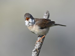 Papa-amoras / Whitethroat (anacm.silva) Tags: papaamoras whitethroat ave bird wild wildlife nature natureza naturaleza birds aves serradafreita portugal sylviacommunis