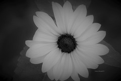 Black Eyed Susan flower in Black and white (Anton Shomali - Thank you for over 3 million views) Tags: spring garden bw blackeyedsusanflowerinblackandwhite may 2019 season backyard beauty beautiful flowers black eyed susan flower green yellow seeds nature sony view from top sunflower macro bright blackeyedsusanflower blackandwhite white soft softcolor