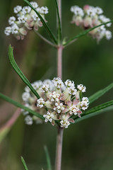 Asclepias verticillata (Whorled Milkweed) (jimf_29605) Tags: asclepiasverticillata whorledmilkweed powerlineprairie murraycounty georgia sony a7rii 90mm wildflowers