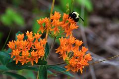 Asclepias tuberosa (Butterfly Milkweed) and bumble bee (jimf_29605) Tags: asclepiastuberosa butterflymilkweed powerlineprairie murraycounty georgia sony a7rii 90mm wildflowers bumblebee