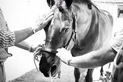 ROCIO BURRITO 19_181 (Almu_Martinez_Jiménez) Tags: rocío camino romería virgen fe devoción fervor caballos animales horse horses bienestar burro donkey mulo mula carro carreta charro ermita flamenco