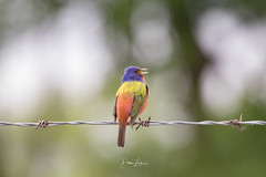 Painted Bunting (Dawn Loehr Photography) Tags: dawnloehrphotography wildlife wildlifephotography nature naturephotography birds birding bunting paintedbunting canon7dmarkii tamron150600 feathers colorful painted