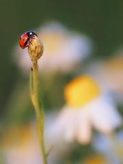 Ladybug (MC--80) Tags: ladybug