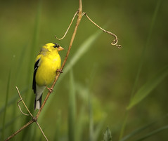 American Goldfinch..... (Kevin Povenz Thanks for all the views and comments) Tags: 2019 may kevinpovenz westmichigan michigan ottawa ottawacounty ottawacountyparks grandravinesnorth wildlife nature bird songbird yellow finch goldfinch green canon7dmarkii sigma150600
