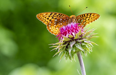 Great Spangled Fritillary (Bernie Kasper (5 million views)) Tags: art berniekasper butterfly butterflies bug bugs color colour d750 digital eyes family flower flowers floral fun green hiking indiana indianabutterflies insect insects jeffersoncounty light landscape leaf love leaves greatspangledfritillary madisonindiana macro nature nikon naturephotography new nwr outdoors outdoor old outside photography park plant photos plants photo people travel trail thistle unitedstates usa sigma spring summer wildflower wildflowers u