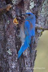Male Western Bluebird At Nest Entrance With Young Opening Its Mouth Wide (brucefinocchio) Tags: malewesternbluebird westernbluebird atnestentrance youngwithwideopenmouth openmouth nestentrance nestopening pinetree bluebird sialiamexicana hallmarkpark belmont northerncalifornia