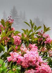 BRP Misty Day (esywlkr) Tags: pink fog mist silhouette nature brp blueridgeparkway nc northcarolina pisgah nationalforest mountainlaurel rain weather