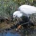 DSC_6195.jpg Snowy Egret, Shoreline Lake