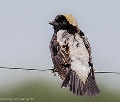 Aren't I handsome?! (rdroniuk) Tags: birds passerines smallbirds bobolink icterids dolichonyxoryzivorus oiseaux passereaux ictéridés gogludesprés