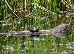 Afternoon frog (EcoSnake) Tags: americanbullfrog lithobatescatesbeiana frogs amphibians june sunshine idahofishandgame naturecenter