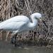 DSC_6097.jpg Snowy Egret, Charleston Slough