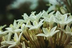 Pentas. #frontporch #takoma #dc #dclife #washingtondc #canon #rebelxs #realcamera #Canon #EFS60mm #macro  #flower #flowersofinstagram (Kindle Girl) Tags: frontporch realcamera takoma dc dclife washingtondc canon rebelxs efs60mm macro flower flowersofinstagram