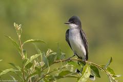 CA3I4783-Eastern Kingbird (tfells) Tags: easternkingbird flycatcher bird nature wildlife newjersey mercer tyrannustyrannus