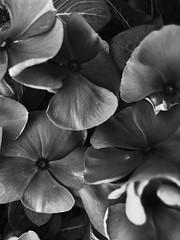 plant (ashleemdunlap) Tags: abstract plant nature outside bloom leaves black white blackandwhite perspective art iphone iphonex moody emotional texas dallas dfw dallastx