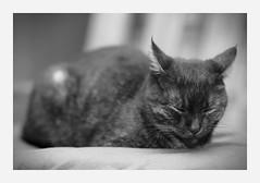 sleep (4paws2bw) Tags: animals pets feline petlovers rokinon sonya6500 blackandwhite gray cat