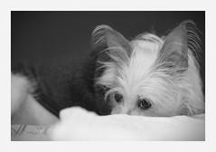 stealth (4paws2bw) Tags: animals pets canine petlovers rokinon sonya6500 monochrome blackandwhite gray dog