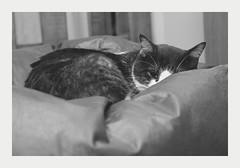 cat (4paws2bw) Tags: animals pets feline petlovers rokinon sonya6500 blackandwhite gray cat