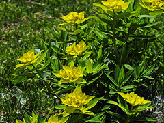 Flowers of Kashmir !! (Lopamudra !) Tags: lopamudra lopamudrabarman lopa india jk kashmir kasmir valley vale nagin wilderness wild yellow green flora flower flowers himalaya himalayas highaltitude highland beauty beautiful