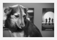 suspicious (4paws2bw) Tags: animals pets canine petlovers rokinon sonya6500 monochrome blackandwhite gray dog