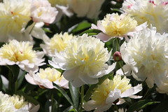 Visit to the Peony Gardens With Runyon, Nichols Arboretum (University of Michigan, Ann Arbor) - June 8th, 2019 (cseeman) Tags: universityofmichigan nicholsarboretum arboretums michigan annarbor thearb parks trails trees nature peonies peonygarden bloom spring flowers plants nicholspeonies06082019 nicholspeonies2019 dogs pets runyon06082019 puppy puppies dog dogbranddog mixedbreed brown young rescuedogs catahoula catahoulamix catahoulaleopardmix runyonsadventures