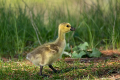Canada Goose Gosling (NicoleW0000) Tags: canadagoose gosling babygoose waterfowl bird cute yellow fuzzy grass nature wildlife morning conservation ontario goose