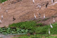 DENDROGIGNA FACCIABIANCA & CO   ---   WHITE-FACED WHISTLING DUK & CO. (Ezio Donati is ) Tags: uccelli birds animali animals natura nature acqua water fiume river westafrica costadavorio riverbandama areataboo barrageriverbandama