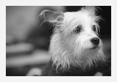 atention (4paws2bw) Tags: animals pets canine petlovers rokinon sonya6500 monochrome blackandwhite gray dog