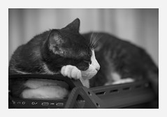 pc sleep (4paws2bw) Tags: animals pets feline petlovers rokinon sonya6500 monochrome blackandwhite gray cat