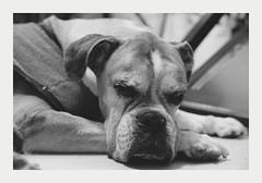 old boxer (4paws2bw) Tags: animals pets canine petlovers rokinon sonya6500 monochrome blackandwhite gray dog