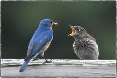 Bluebird parenting (RKop) Tags: raphaelkopanphotography d500 200500mmf56edvrzoom bluebirds nikon