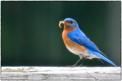 Bluebird parenting (RKop) Tags: raphaelkopanphotography d500 200500mmf56edvrzoom nikon bluebirds