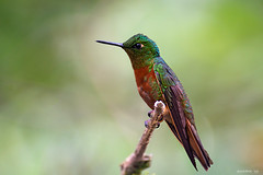 Chestnut -Breasted Coronet (swmartz) Tags: chestnut coronet hummingbird peru nikon nature outdoors wildlife birds june 2019 aquascaliente