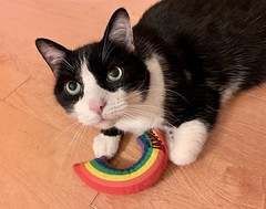 Happy Pride from Oliver (Mr.TinDC) Tags: oliver cats pets cat feline kitty cute tuxedocat rainbow pride