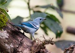 Blue-Gray Tanager (swmartz) Tags: tanager peru aquascaliente nikon nature outdoors wildlife birds andes june 2019 blue gray bluegray