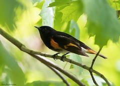 American Redstart (sbuckinghamnj) Tags: newjersey warbler bird americanredstart garretmountainreservation garretmountain