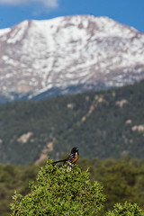 DSC09936 (Ryan Strickhouser) Tags: spotted towhee pikes peak colorado springs garden gods mountain bird avian