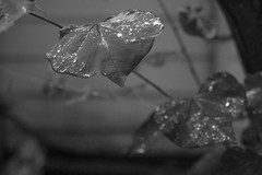 heart-shaped leaves, during a break in the rain, yard, Asheville, NC, Mamiya 645 Pro, Mamiya Sekor 45mm f-2.8, Bergger Pancro 400, HC-110 developer, 6.6.19 (steve aimone) Tags: leaves heartshaped rain yard asheville northcarolina nikond3300 mamiyasekkor45mmf28 mamiyaprime primelens monochrome monochromatic blackandwhite latelight berggerpancro400 hc110developer
