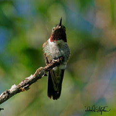 Broad-tailed Hummingbird Flashes His Gorget (dcstep) Tags: cherrycreekstatepark colorado aurora handheld allrightsreserved copyright2019davidcstephens sonya9 fe400mmf28gmoss fe14xteleconverter dxophotolab dsc1301dxo hummingbird broadtailedhummingbird perched goret redgorget flashing
