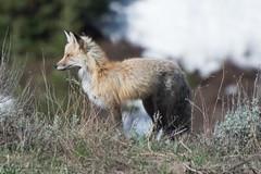 Red Fox - Crested Butte (G. Gunning) Tags: fox colorado crestedbutte nikon d750