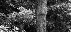 Tree Against Underbrush (Photographs By Wade) Tags: collinsville oklahoma woods tree undergrowth plants foliage twoframepanorama adobelightroom