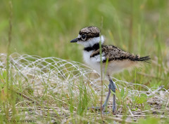 Killdeer chick. (Estrada77) Tags: killdeer birds birding nature nikon nikond500200500mm spring2019 wildlife outdoors shorebirds animals cookcounty