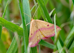 Chickweed Geometer (Bruce Bolin) Tags: