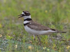 Killdeer. (Estrada77) Tags: killdeer birds birding nature nikon nikond500200500mm spring2019 wildlife outdoors shorebirds animals cookcounty